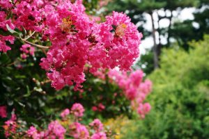 Lagerstroemia arbre fleurs Montauban