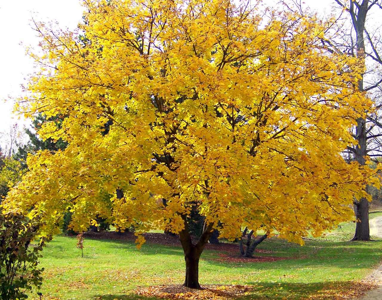 Erable automne jaune